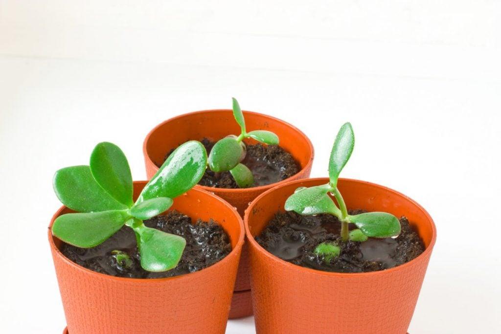 propagate leaf jade gifts