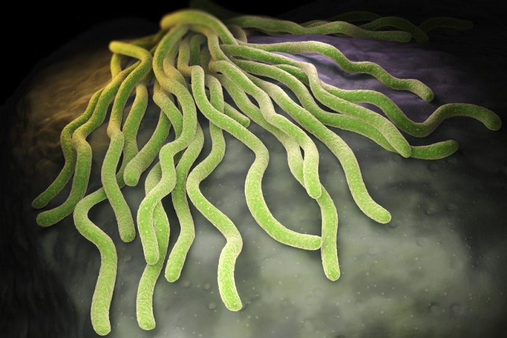 bacterium borrelia burgdorferi