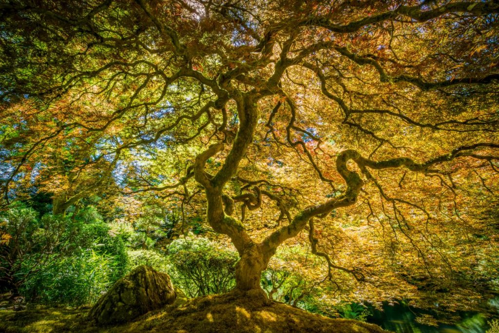 Japanese maple in a garden.