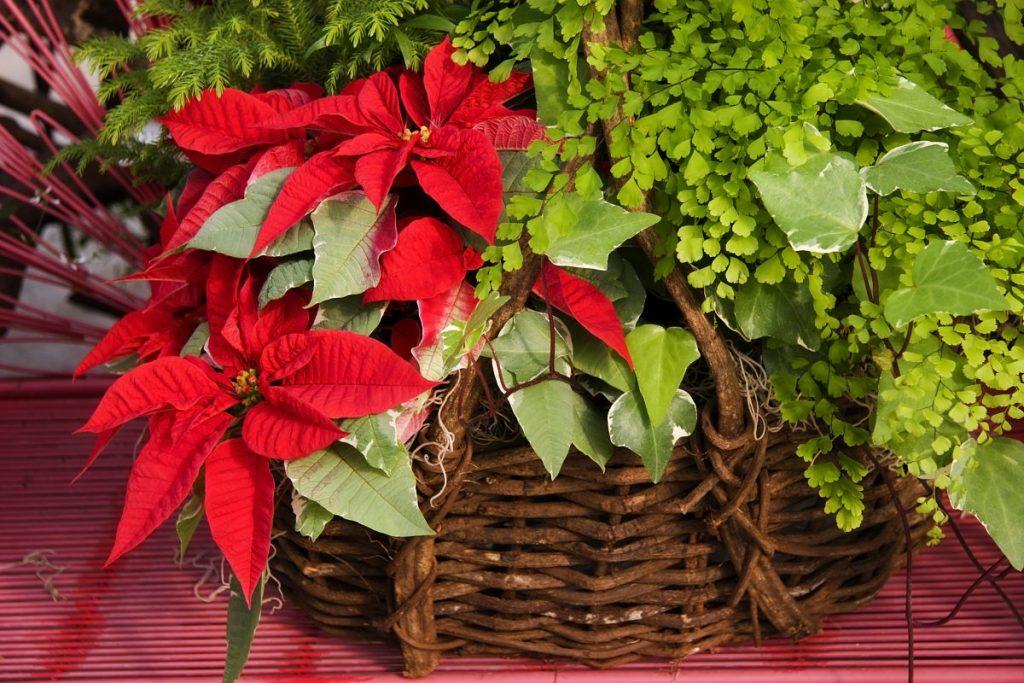 floral arrangements poinsettia