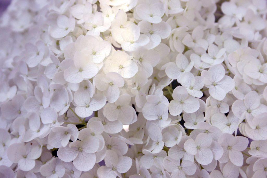 White hydrangeas.
