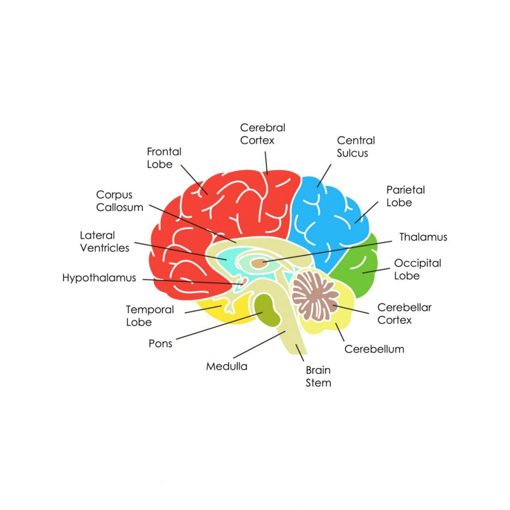 Sensorimotor-cortex postcentral-gyrus cerebral-cortex