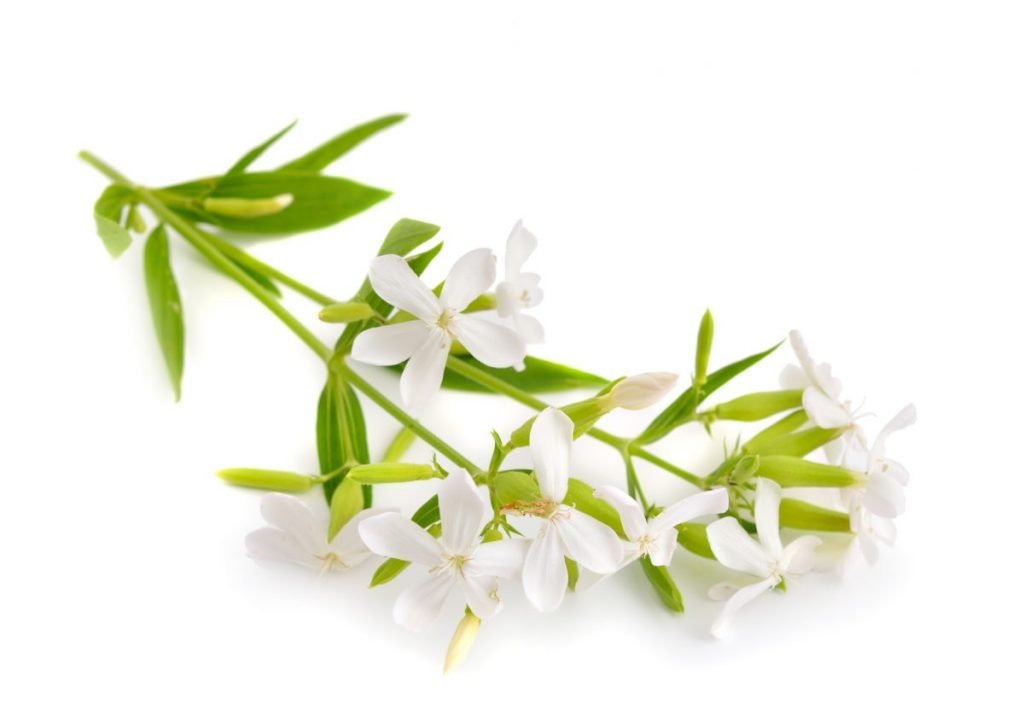 soapwort, Saponaria officinalis plant