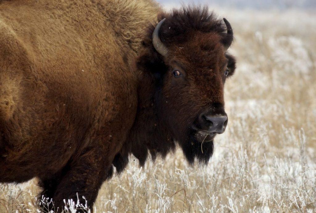prairie reserve bison