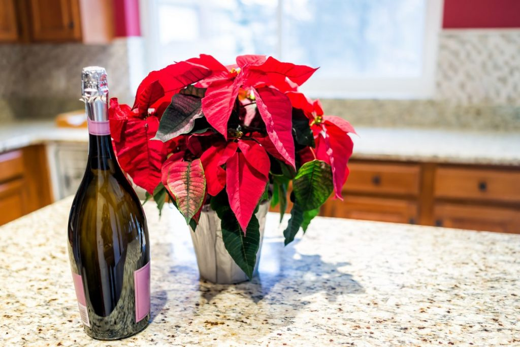 poinsettia home care