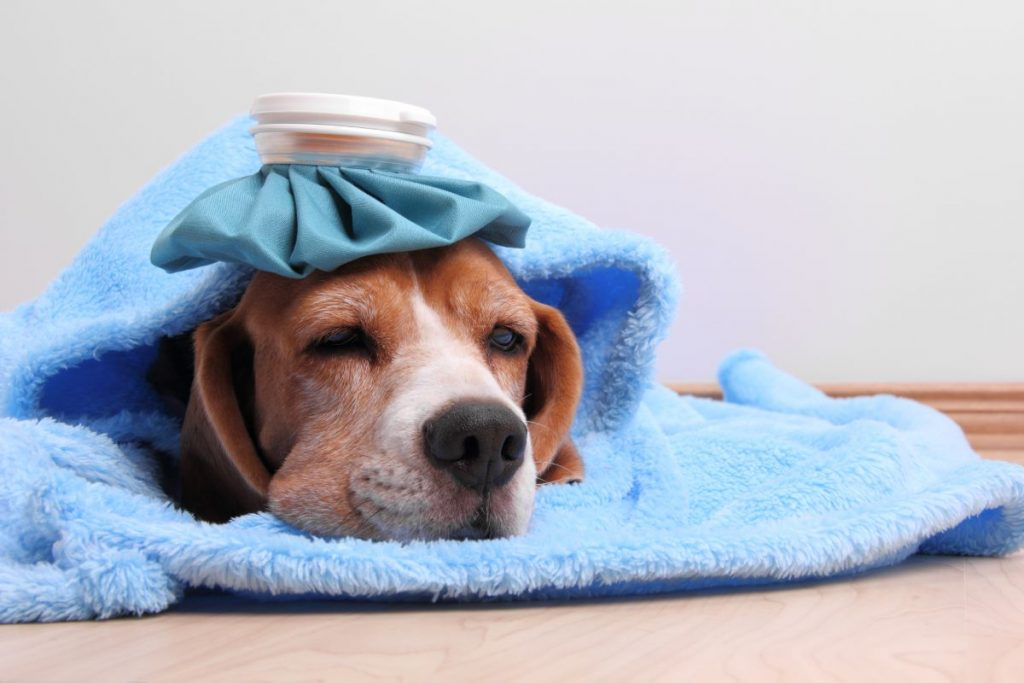 Little dog with ice pack and blanket lying on the floor