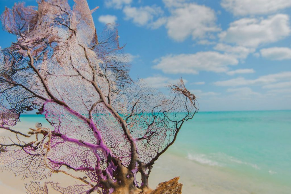 color photograph of the Garden Key beach at the Dry Tortugas National Park. In the foreground on the sand is a a washed up piece of a dead coral fan.