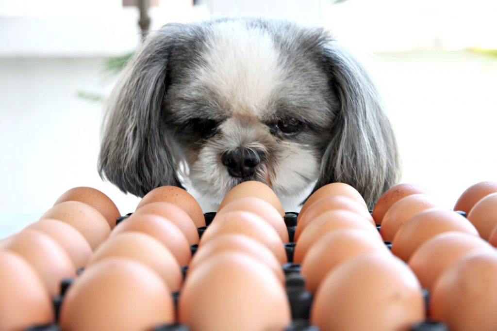 The Dog watching egg and viewed with suspicion.