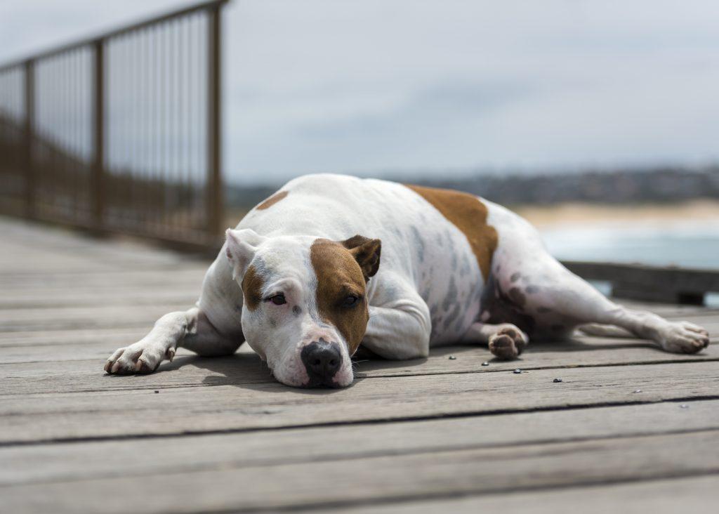 Lazy dog by the sea, Sydney Australia