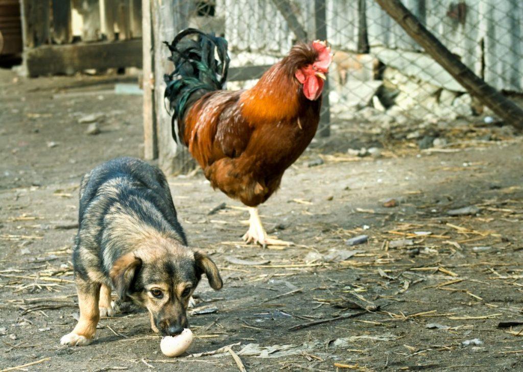 Funny farm scene: dog stealing an egg -