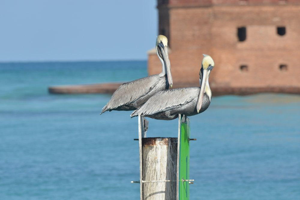 Storms standing on a pillar with Fort Jefferson (Dry Tortugas National Park) in the background
