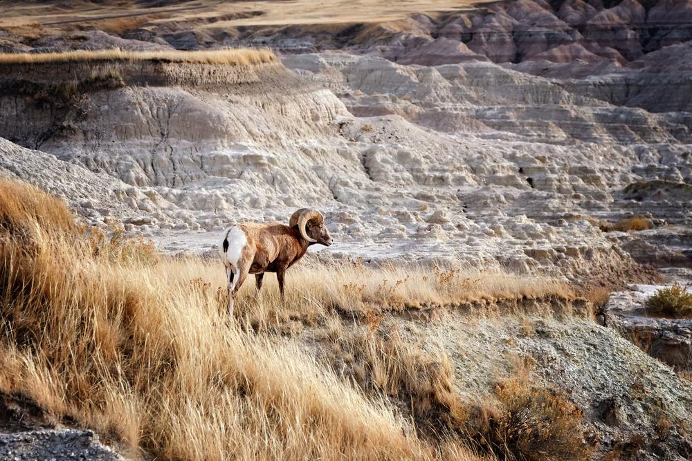 Bighorn Sheep with large curving horns in Badlands National Park, South Dakota,