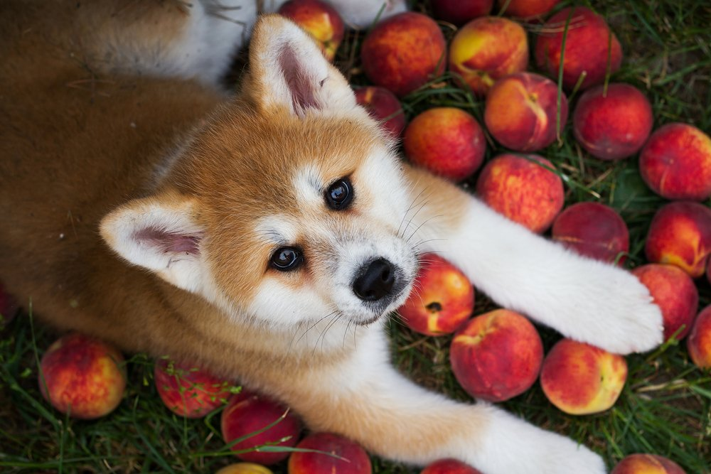 Young american akita puppy lie with peach.