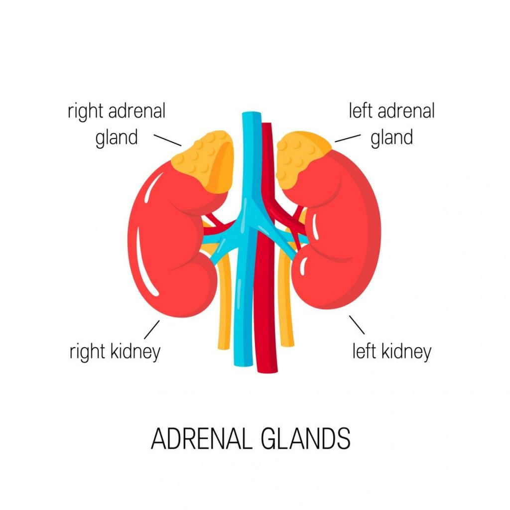 how the adrenal glands work