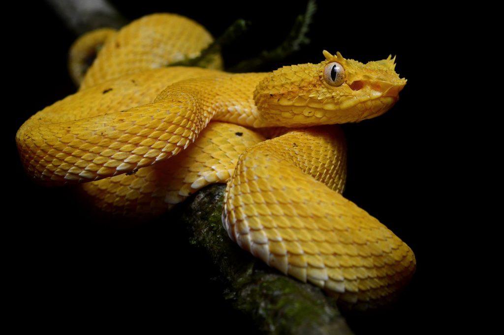 eyelash pit viper''' (''Bothriechis schlegelii'') at La Selva Biological Station, Sarapiqui, Costa Rica.