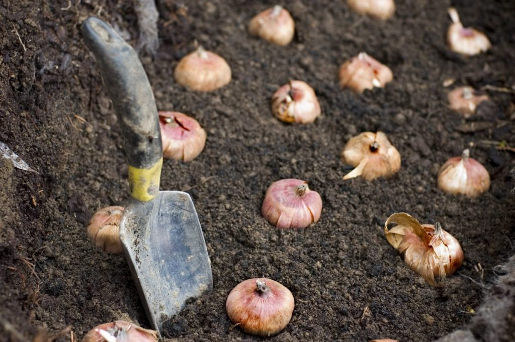 Planted flower bulbs in soil