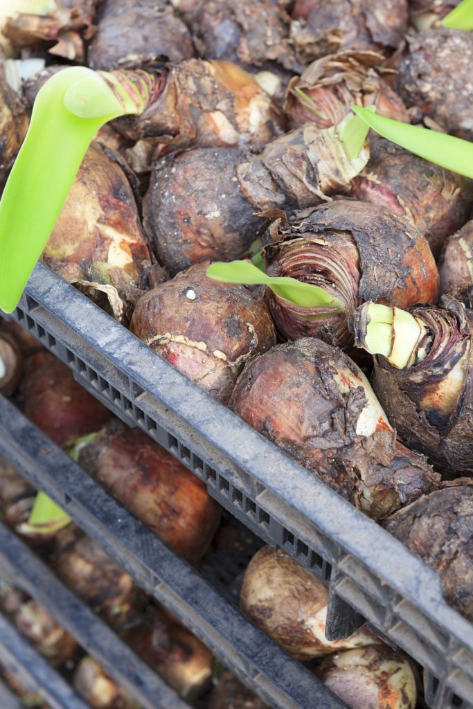 Amaryllis bulbs packaged for sale