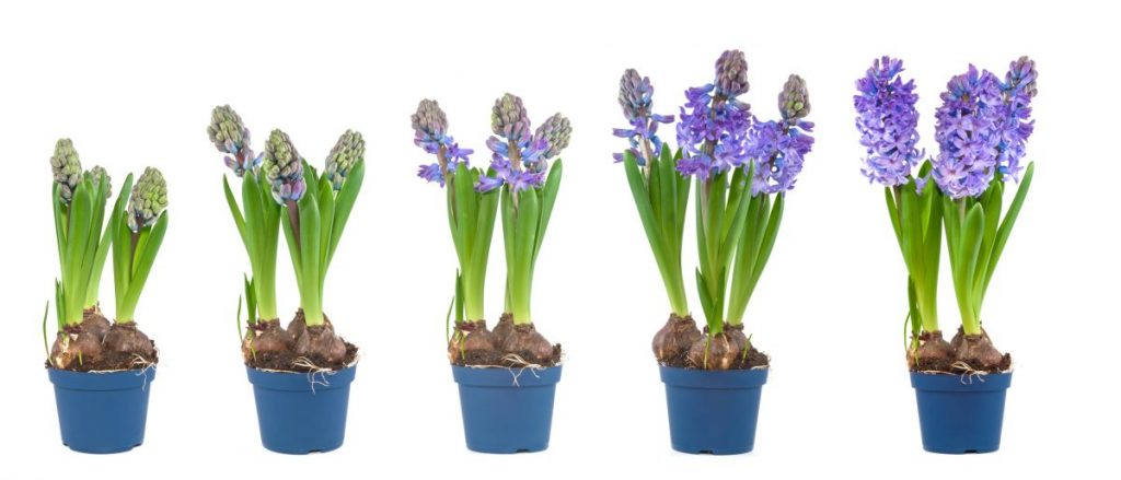 Hyacinth bulbs growing in pots