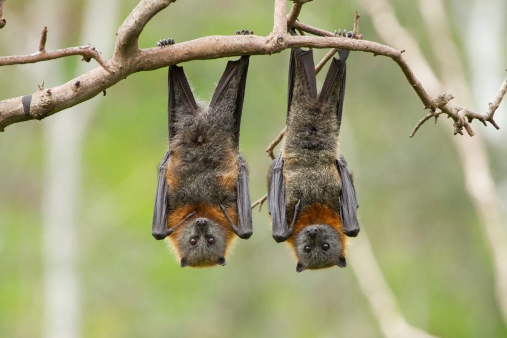Fruit Bats Spread