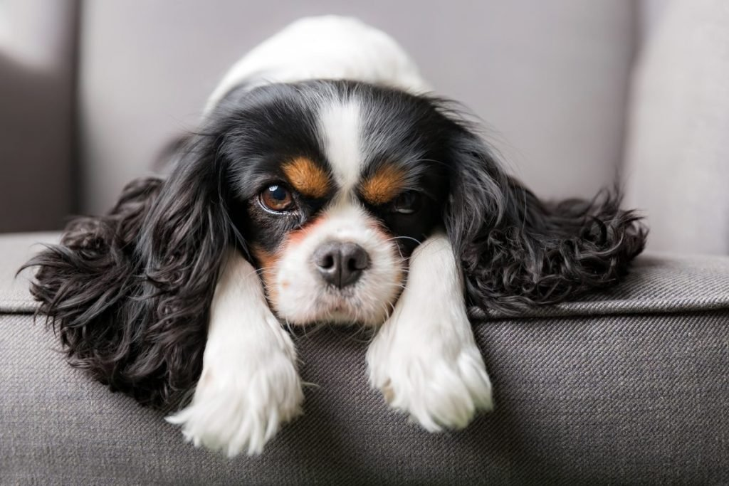 physical features king charles spaniel
