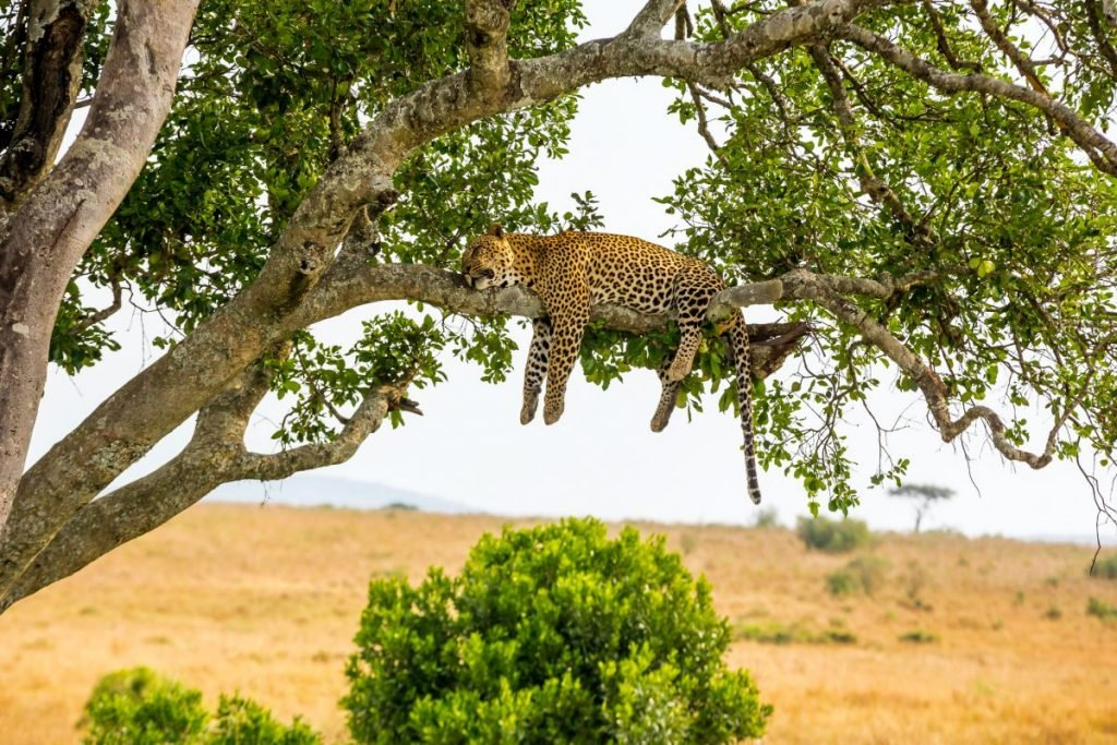 leopard high metabolism appetite