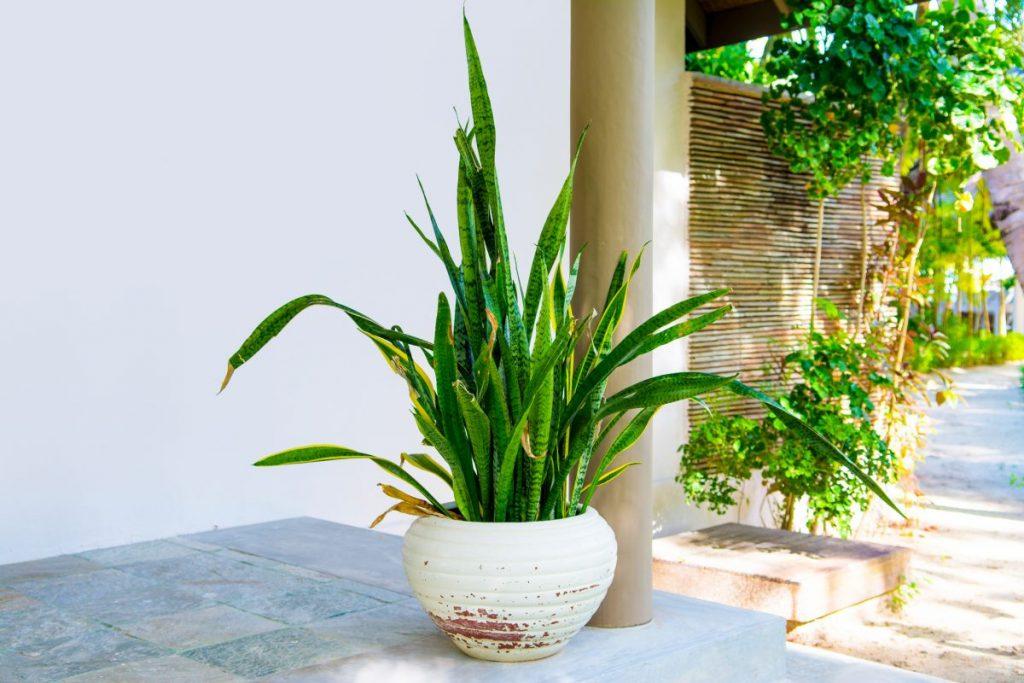 snake plant indirect sunlight