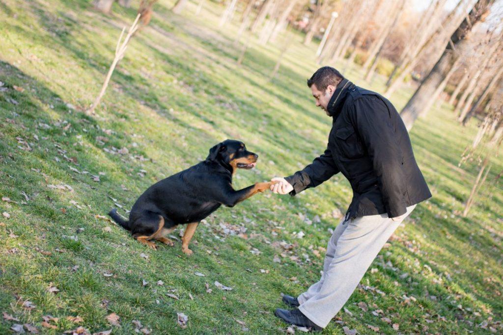 training rottweilers