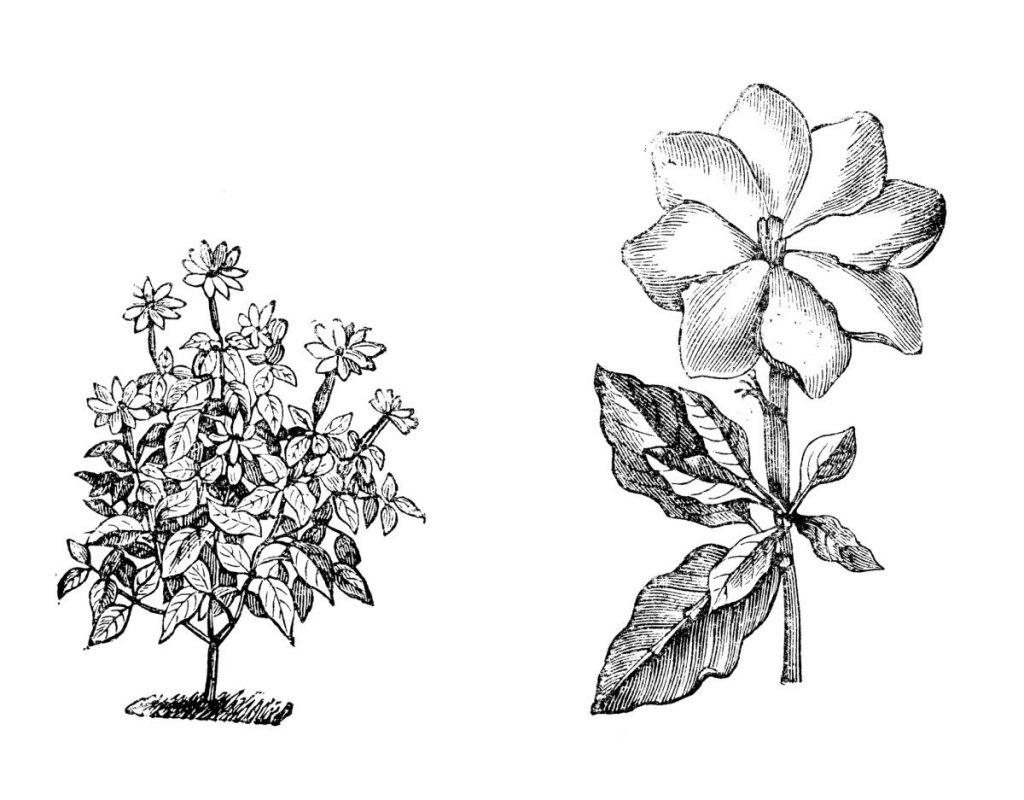 Asia Gardenias Alexander-garden