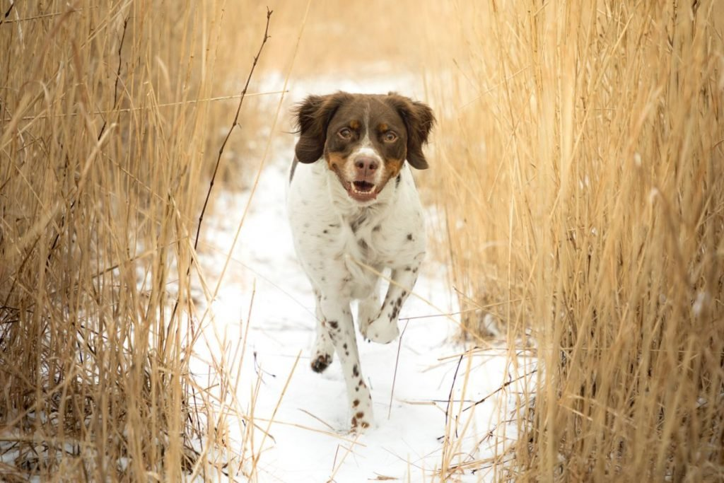 Brittany Spaniel Running Through Field