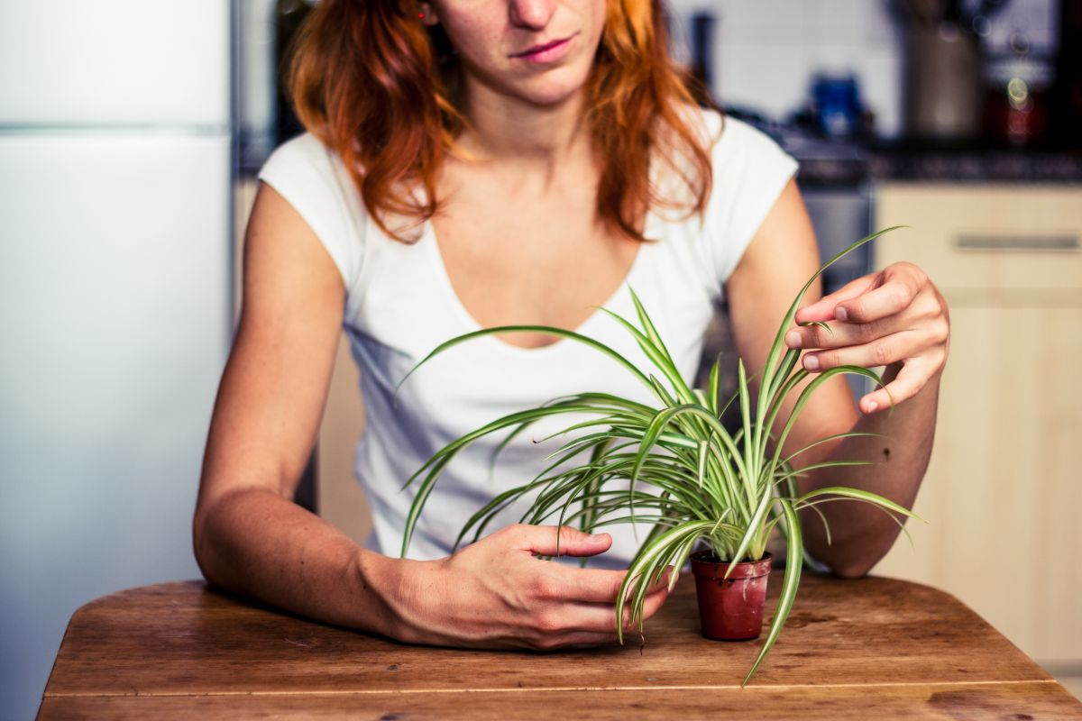 Young woman is fiddling with her spider plant in the kitchen