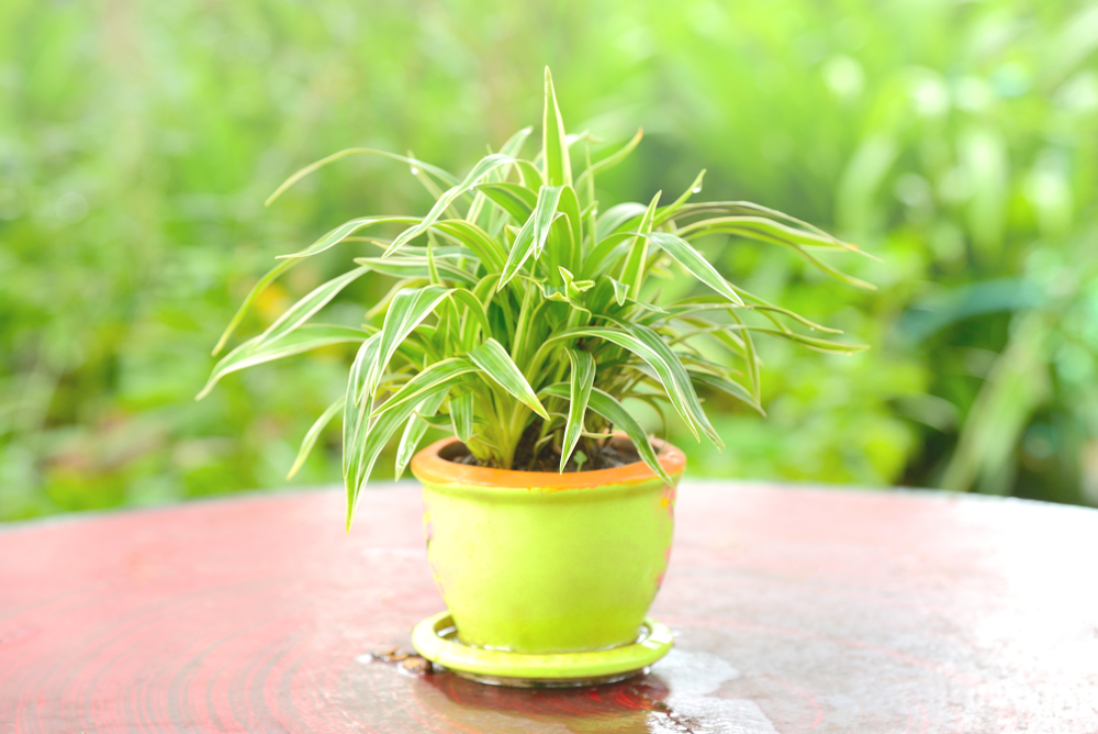 Spider plant in pot on table with green bokeh blurred background.