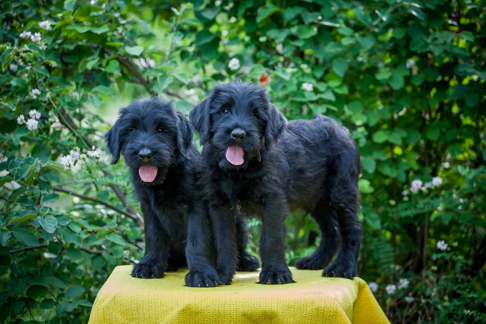 Giant Schnauzer Puppies
