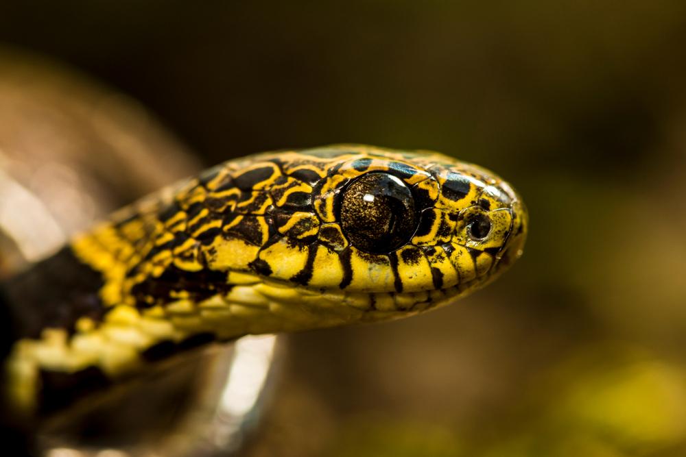 Snail eater snake