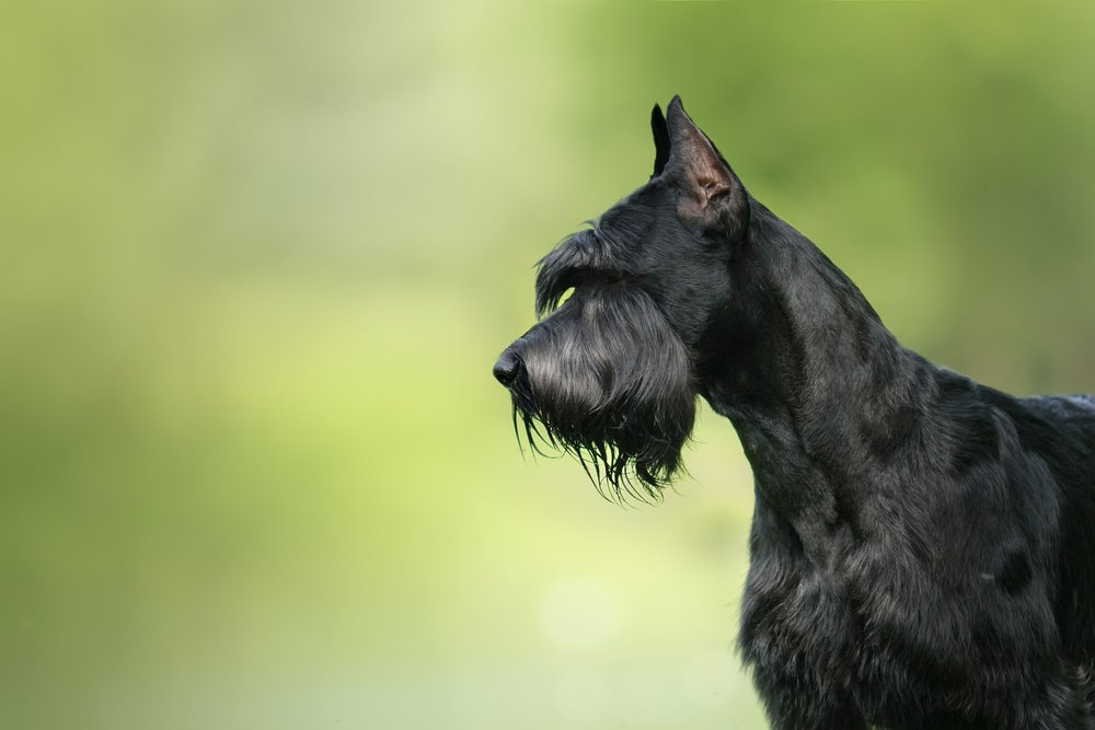 Dog Giant Schnauzer, pet walking in a summer park