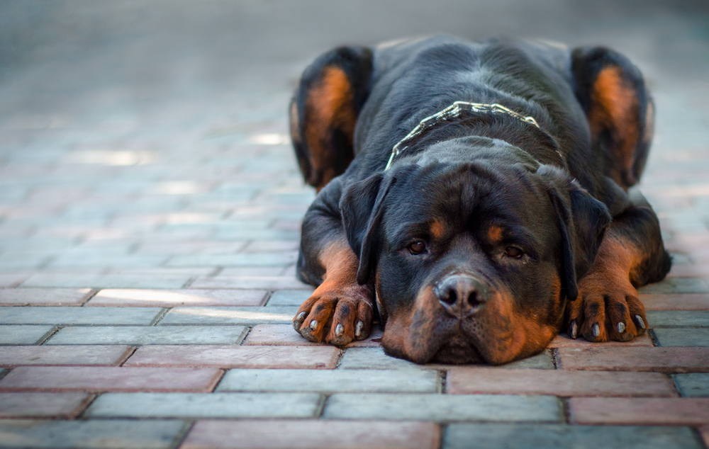 sad dog breed Rottweiler lies