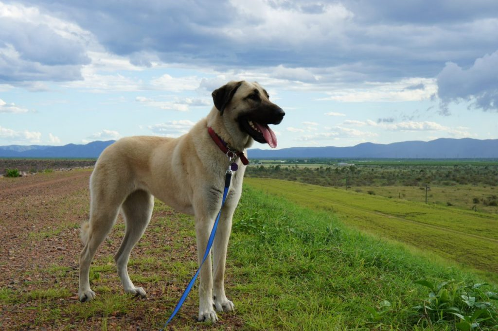anatolian shepherd big dog breed