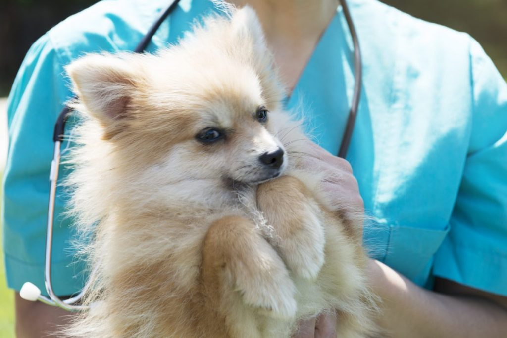 health problems in teacup pomeranians