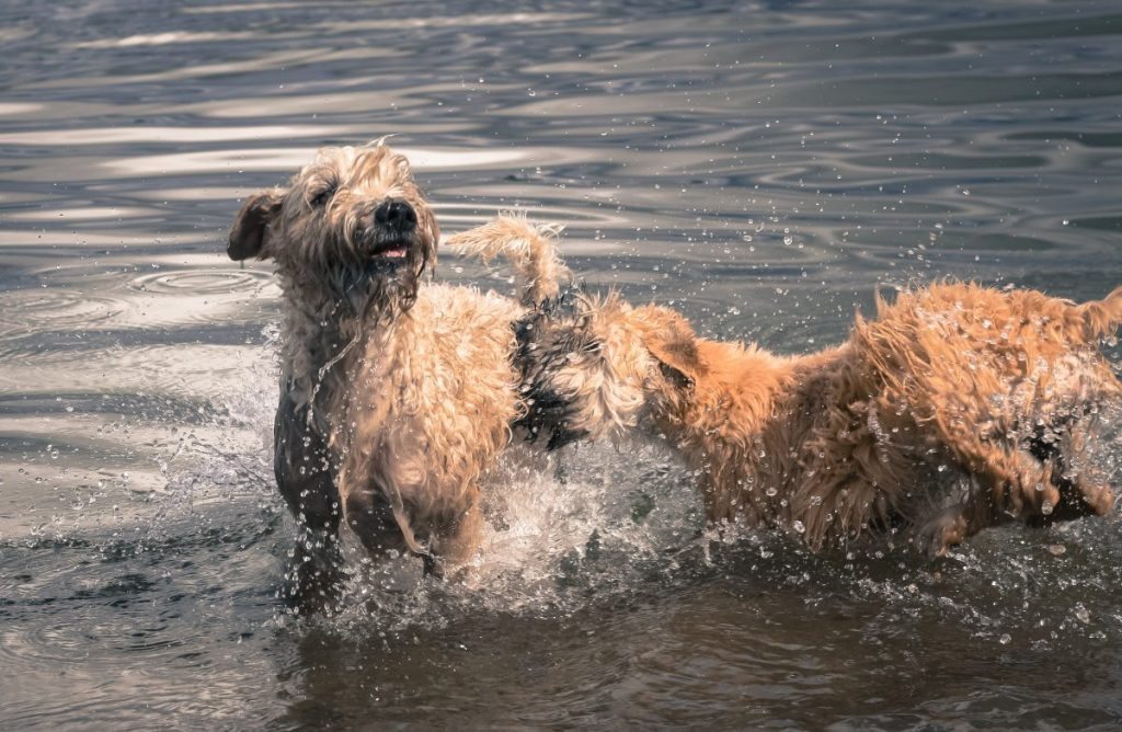 wheaten terrier personality and temperament
