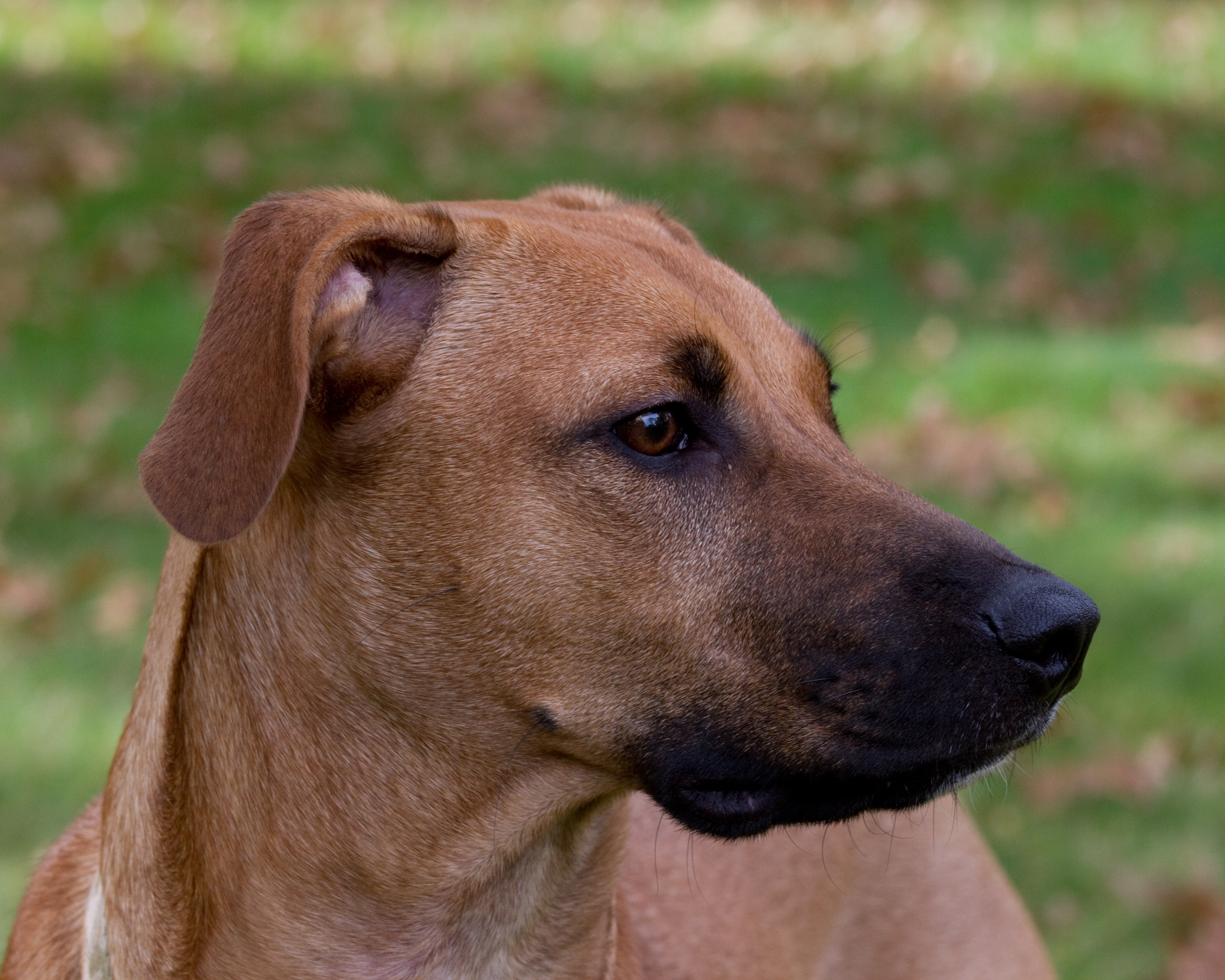 Portrait of a Black Mouth Cur showing the typical melanistic mask around the muzzle.