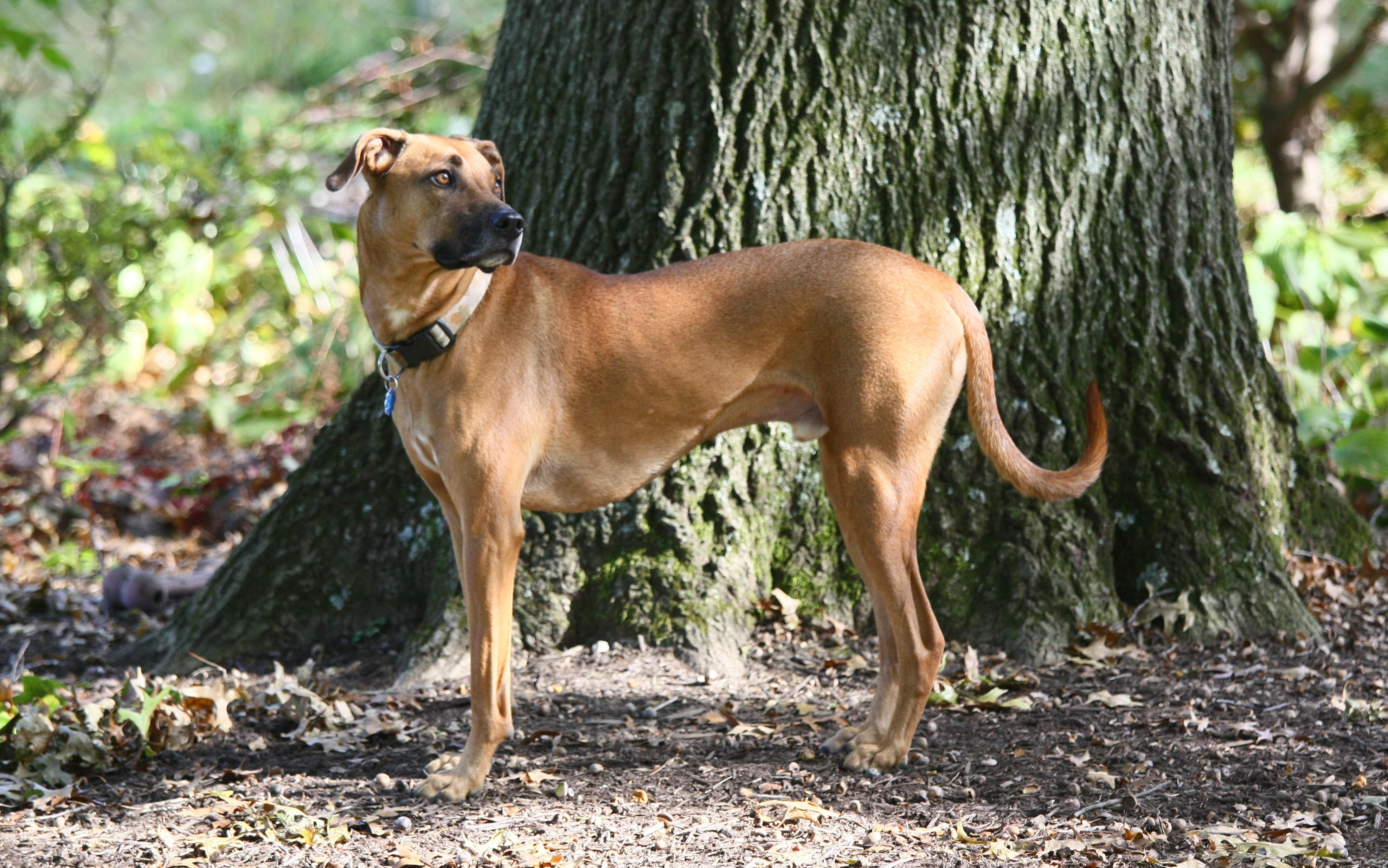 Black mouth cur at about three years old.