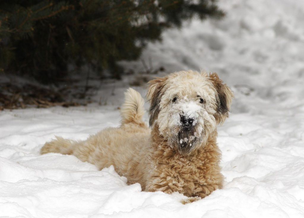 Soft Coated Wheaten Terrier plays in the Snow