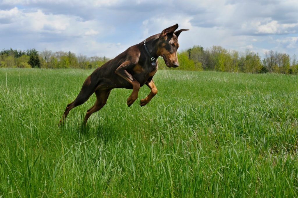 Doberman Pinscher Dog Hunting in Green Spring Field