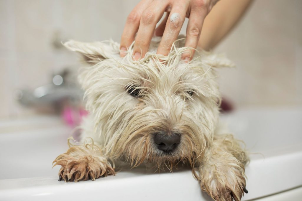 Cute west highland white terrier in shower at home