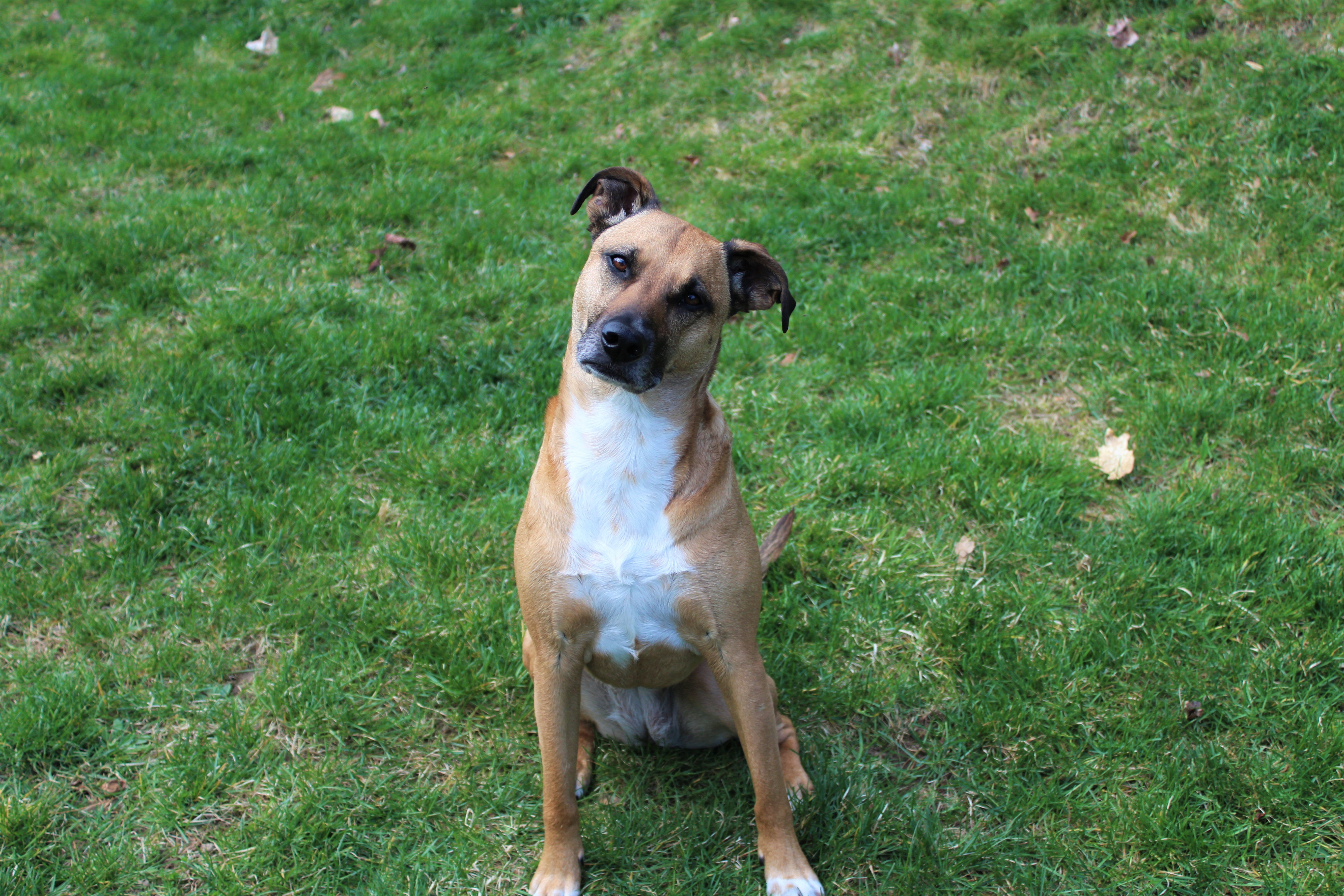 black mouth cur sitting on grass