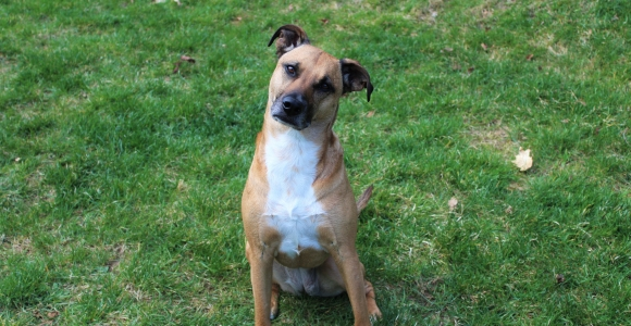 What You Should Know About the Black Mouth Cur