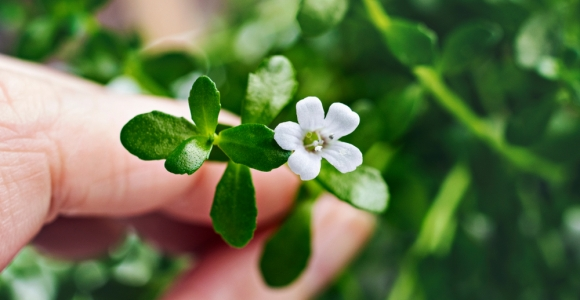 Medical Benefits of Bacopa, an Ancient Ayurvedic Herb