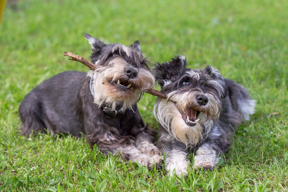 two mini schnauzer dogs playing one stick together on the grass