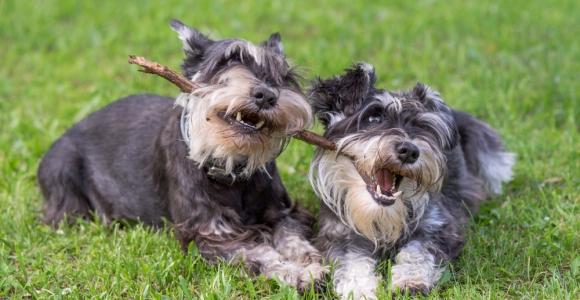 Are Miniature Schnauzers Good Pets?