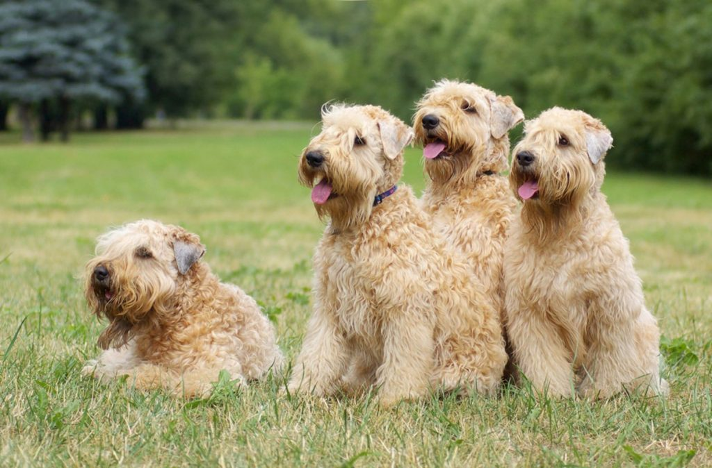 Ireland soft coated wheaten terriers