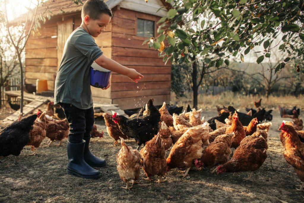 free range roam chickens